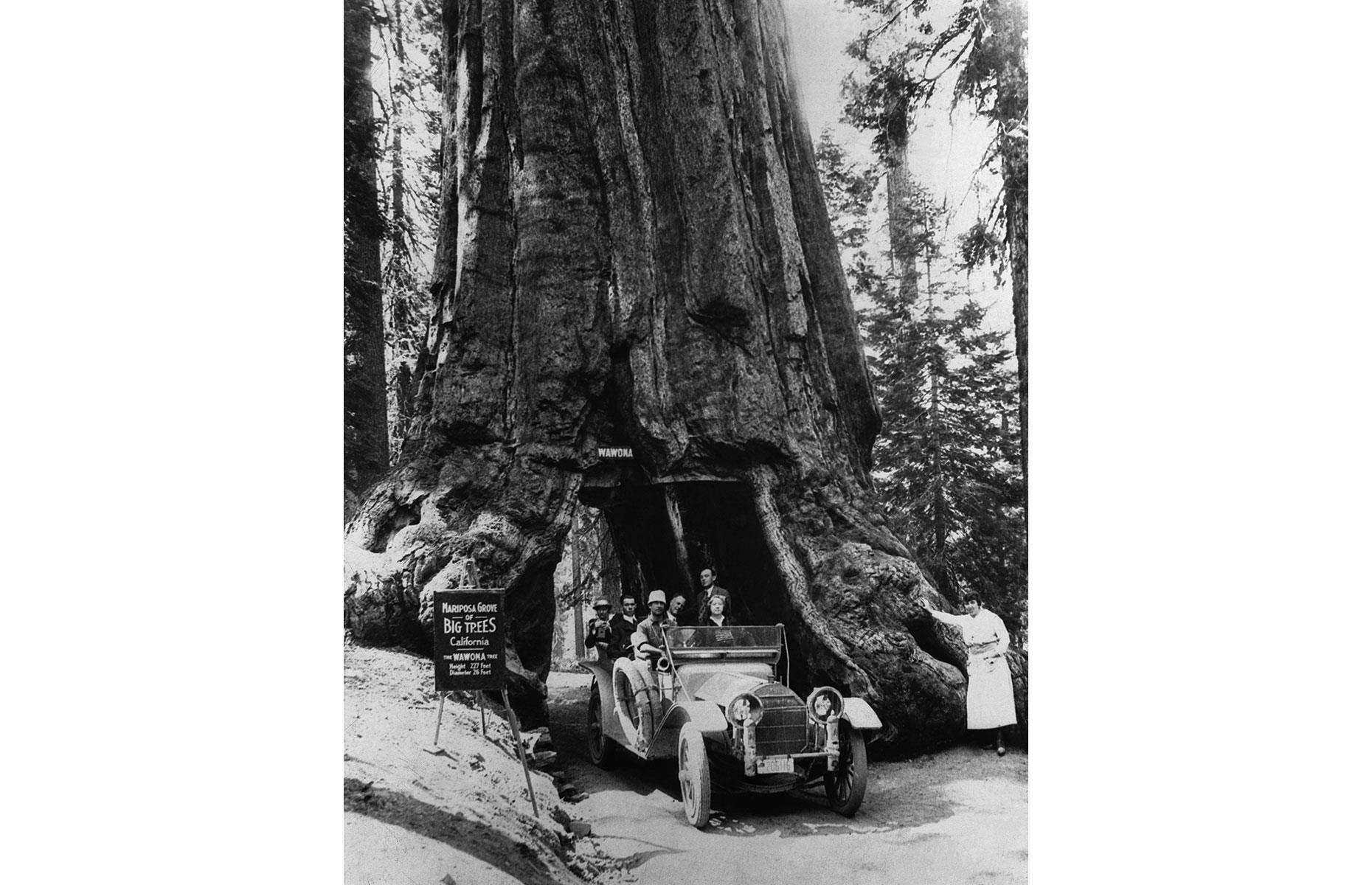 Slide 8 of 31: This giant sequoia tree could once have been found tucked away in Mariposa Grove in the Golden State's Yosemite National Park. Mighty impressive in its own right, the ancient tree had a tunnel carved into its base in 1881, drawing tourists who delighted in driving and walking through its trunk. Park-goers are pictured here enjoying the attraction in the early 20th century.