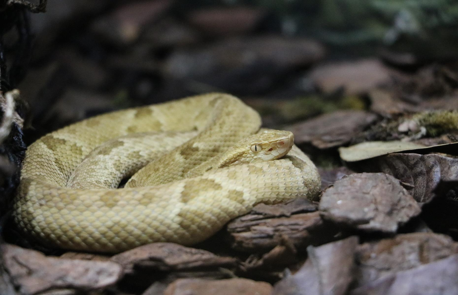 """Slide 24 of 51: Aptly nicknamed """"Snake Island"""", the Ilha da Queimada Grande is home to around 4,000 venomous vipers – that amounts to approximately one snake per 10 square feet(1sqm). The bite of the golden lancehead (or Bothrops insularis), that can only be found here, is deadly. The Brazilian government has therefore banned visitors from the island. Only the navy is allowed to access it. Check out more abandoned islands the world forgot."""