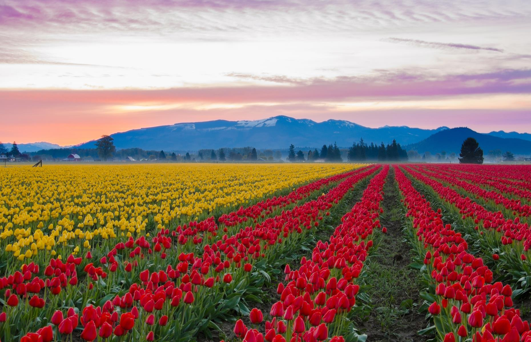 Slide 55 of 61: The neat rows of tulips lining the fields of Skagit Valley are a near mirror image of those in the Netherlands. The area's annual flower festival usually begins each April, and sees this northwestern pocket of Washington bright with hundreds of bold tulips in sunset colors. Photo contests, bike tours and barbecues add to the fun that is due to resume in 2021.