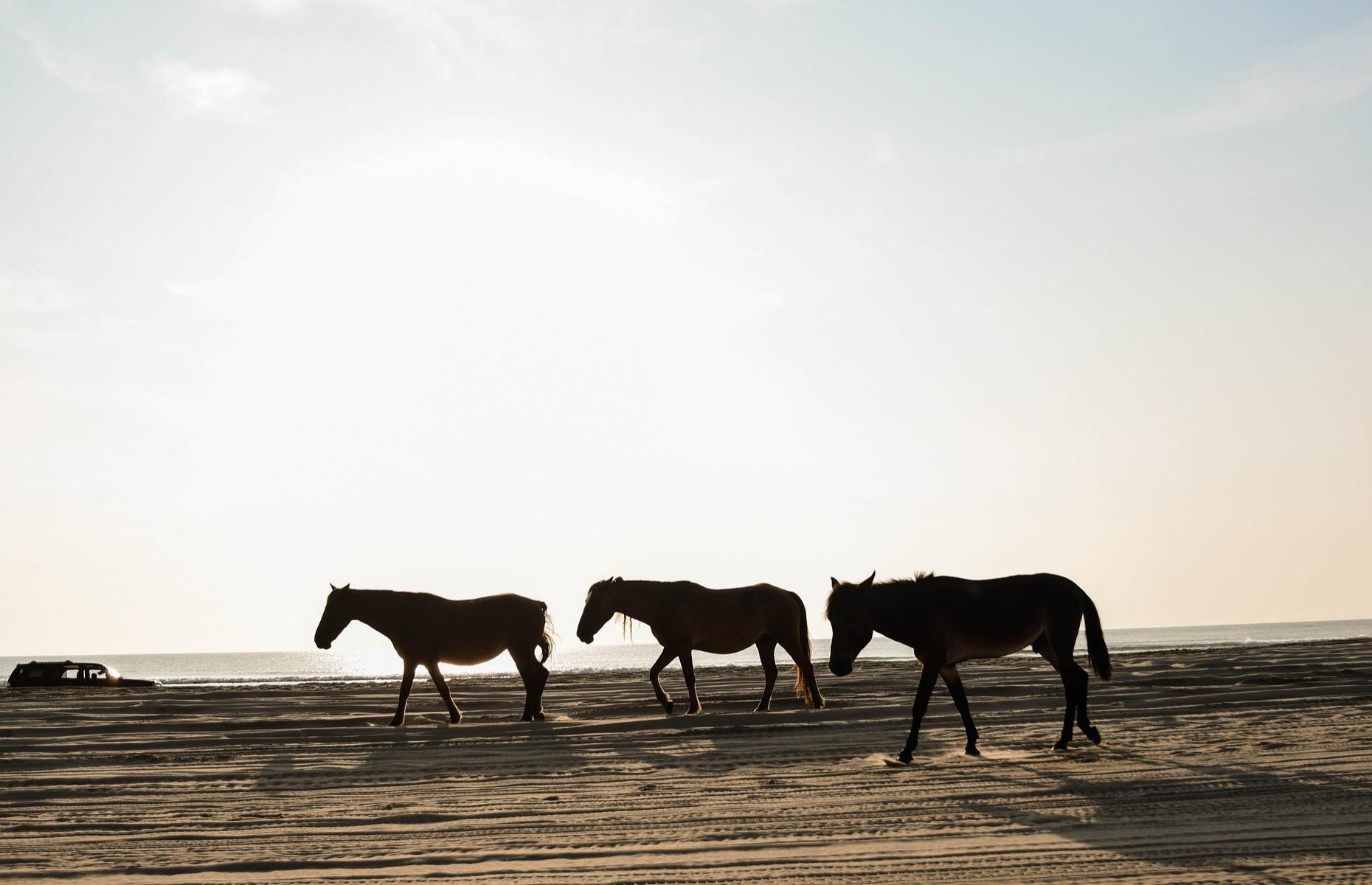 Slide 13 of 32: Herds of wild horses roam the pale beaches and rolling dunes of Carova Beach, a tiny Outer Banks spot. The graceful animals are thought to be descended from Spanish mustangs shipwrecked here in the 1400s. The unspoiled nature of the place has allowed them to live freely here for centuries.