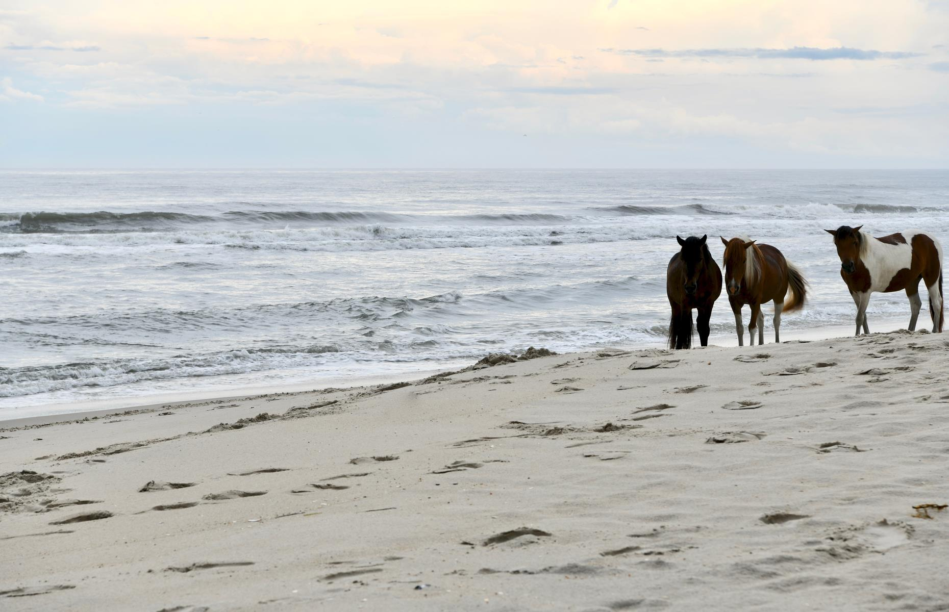 Slide 21 of 32: This barrier island is home to beaches as soft as caster sugar and best-known for its wild ponies. Two herds of feral horses (the wild descendants of domestic animals) thrive here, one managed by the National Park System and one by the Chincoteague Volunteer Fire Company.