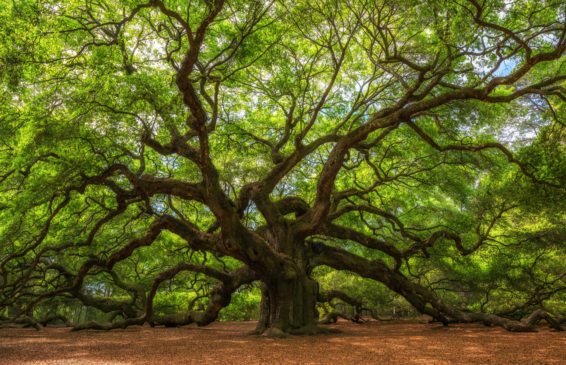 Slide 41 of 51: Mossy, velvety live oak trees are as Southern as barbecueand charm, and South Carolina is rich in all three. Few trees, though, are so spectacular – or famous – as the Angel Oak, which shades around 17,000 square feet (1,579sqm) of grassy parkland and is believed to be around 400 years old. You can't spread your blanket right under the broad canopy, but there is a picnic area on the site so you can enjoy your meal with an iconic view.