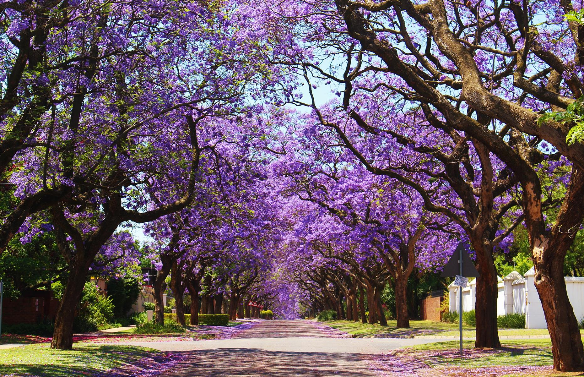Slide 33 of 41: Late-September to late-November is the time to visit South Africa if you want to catch a glimpse of the jacaranda trees' annual floral display. Boasting mostly purple, fragrant blooms (although you may spot some trees with white flowers), jacarandas can mostly be found in Pretoria and Johannesburg. In fact, it's thought that there are more than 70,000 jacarandas in Pretoria alone. These are the world's most beautiful trees.