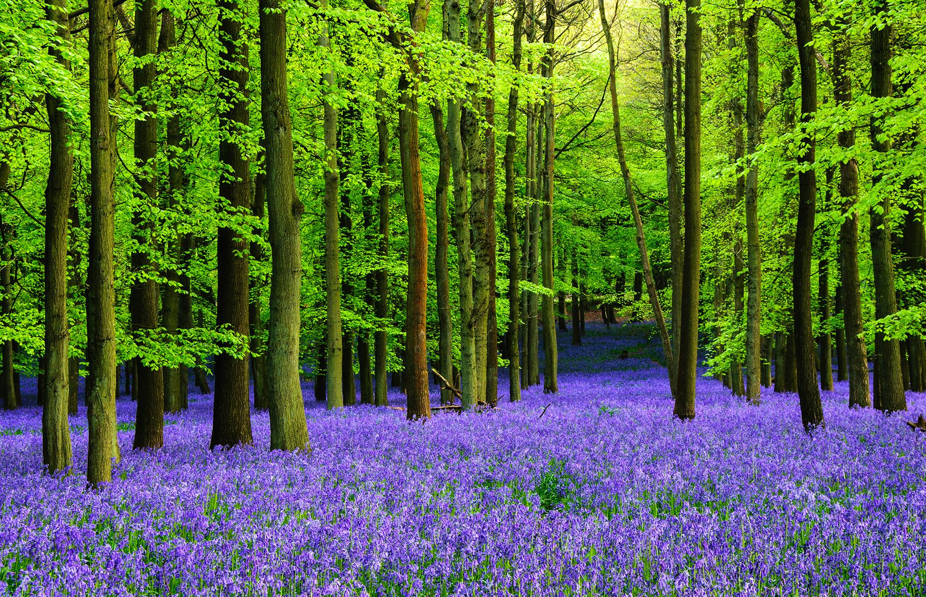 Slide 9 of 41: Covering ancient woodlands in a carpet of purple in April and May, bluebell flowering in the UK is an enchanting sight. Although bluebells grow across many parts of the country, some of the most beautiful places include Blickling Estate in Norfolk, Lake District National Park, Wepham Wood and Ashridge Estate in Hertfordshire.