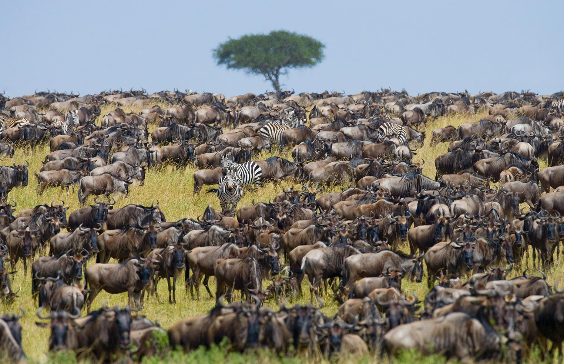Slide 4 of 41: Following the rainy season, the largest mammal migration on Earth sees 1.5 million wildebeest and zebra make an epic journey over a 11,583 square-mile (30,000sq km) area, traveling northwest from the plains of the Serengeti in search of greener pastures every year. This amazing sight can be seen at its best in May or June in either Tanzania's Serengeti National Park or Kenya's Maasai Mara National Reserve.
