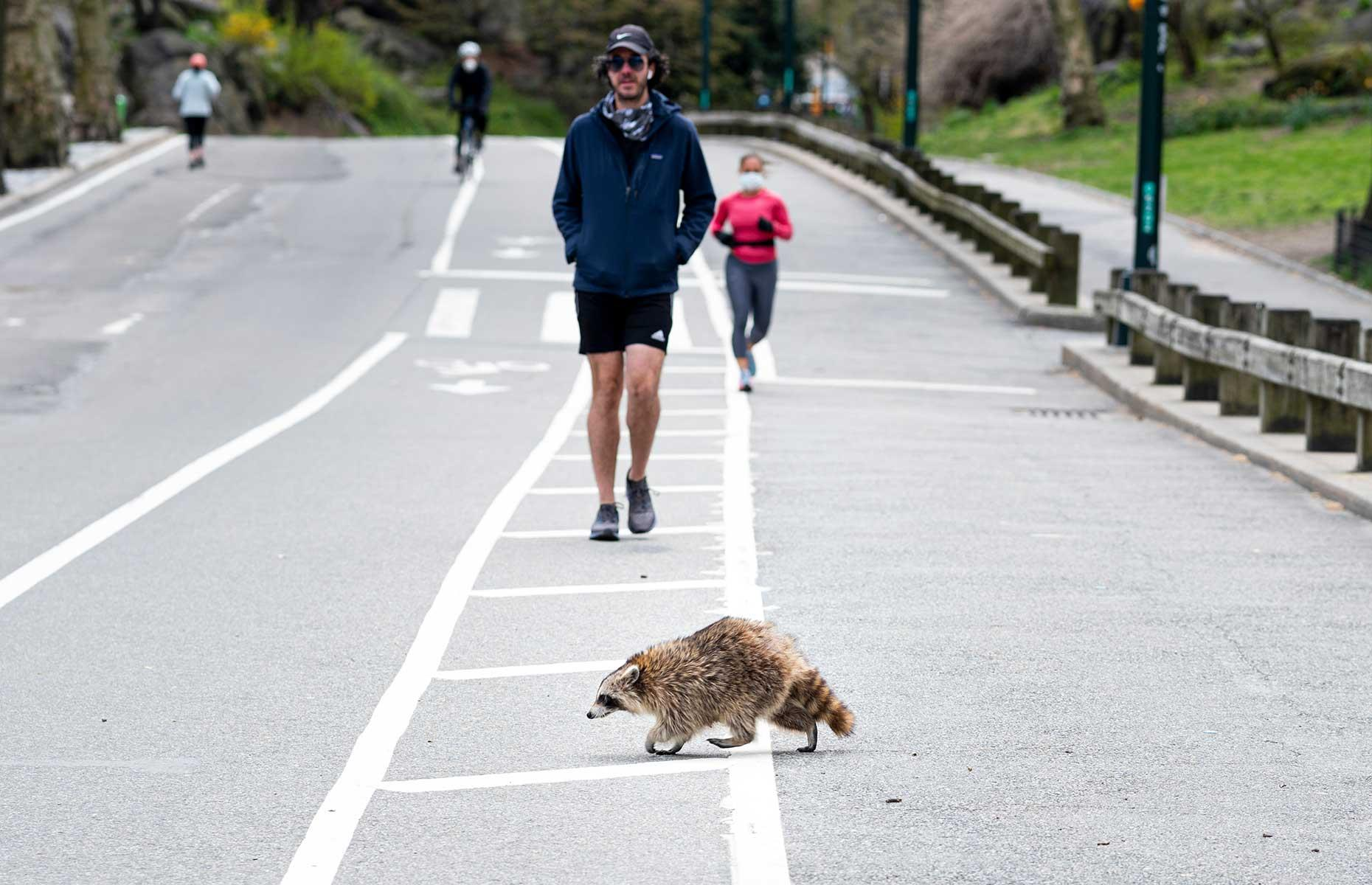 Slide 3 of 31: One unexpected side-effect of the COVID-19 outbreak was the number of emboldened raccoons spotted enjoying New York's Central Park too. Lockdown measures during April contributed to a drop in noise pollution that was especially significant to animals living in urban areas, including this cheeky raccoon who appeared to be giving local joggers a run for their money.