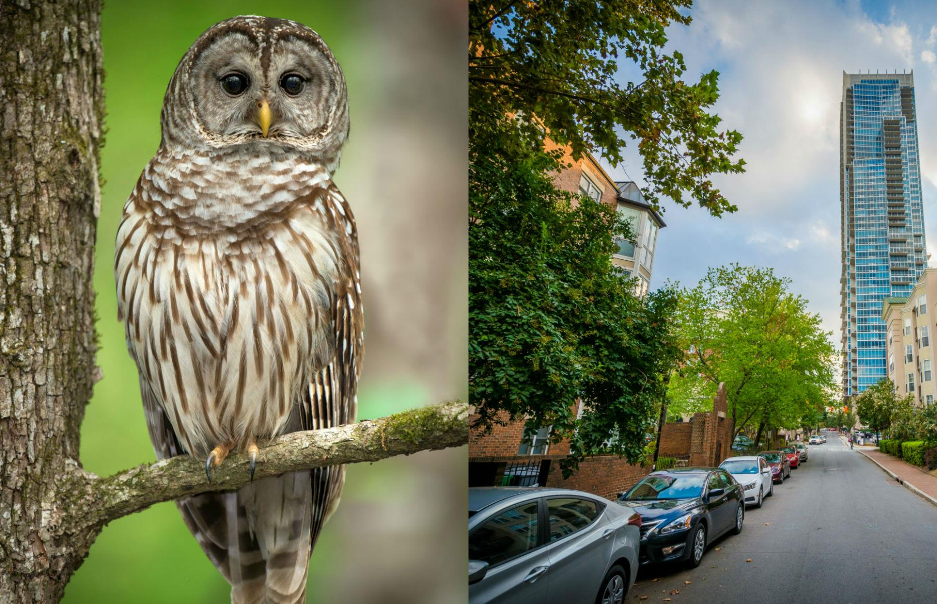 Slide 8 of 31: Life in Charlotte, North Carolina, is a hoot thanks to the large population of beautiful barred owls, identifiable by their brown and white striped plumage. You're most likely to see them in the older neighborhoods that have large trees in which these beautiful birds roost.