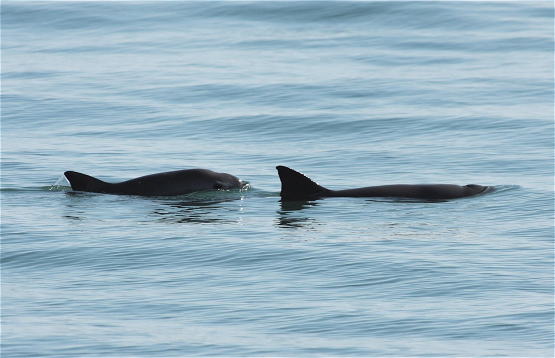Slide 30 of 53: The imminent extinction of the vaquita, an endemic porpoise in Mexico's Gulf of California that is the world's rarest marine mammal, has seen the Islands and Protected Areas of the Gulf of California placed on the List of World Heritage in Danger for 2019. Despite efforts by Mexico to protect them, including creating a refuge and promoting fishing alternatives to gillnets (the main cause of their demise), only about 10 vaquita remain today. This is compared to nearly 300 in 2005.