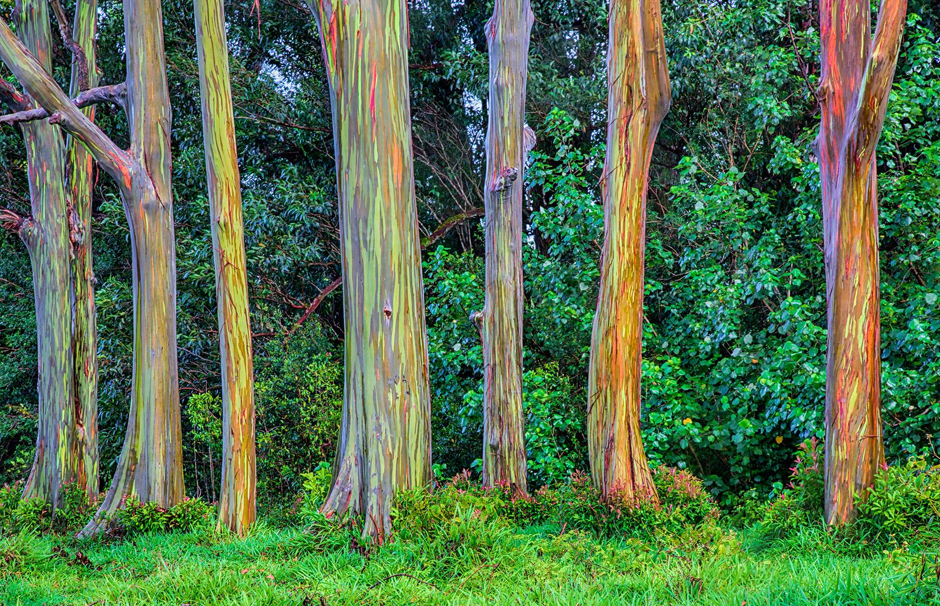 Slide 27 of 43: While these multicolored trunks may look like something out of a film, you can actually find them in Hawaii. Also known as the rainbow gum tree, the technicolor lines on these trees' trunks are down to different parts of the bark shedding at different times. On top of looking the part, these trees smell lovely too. See more stunning photos of the world's most beautiful trees.