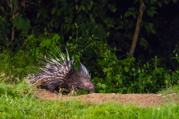 Slide 14 of 31:            Porcupines are nocturnal and typically solitary animals. They are covered in quills that they use as a defense mechanism — when they shake them, the quills make a rattle noise that warns off predators.According to Ecology Asia, the Malayan porcupine (Hystrix brachyura, pictured here) is one of the largest of Southeast Asia's seven species of porcupine.