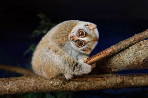 """Slide 6 of 31:            The Bengal slow loris (Nycticebus bengalensis) can be found in southeastern Asia. Their distinctively oversized stereoscopic eyes have an orange-red eye-shine that makes them hard to miss. The animal's large eyes allow it to see with a greater depth perception and night vision than other animals.                                        They also have an interesting way of defending their young by covering them in secretions from their glands that can become toxic when combined with their saliva. They also protect themselves in a similar way: """"They activate their brachial glands and coat their heads with the foul-tasting secretions — giving would-be predators second thoughts,"""" theNew England Primate Conservancy reported."""