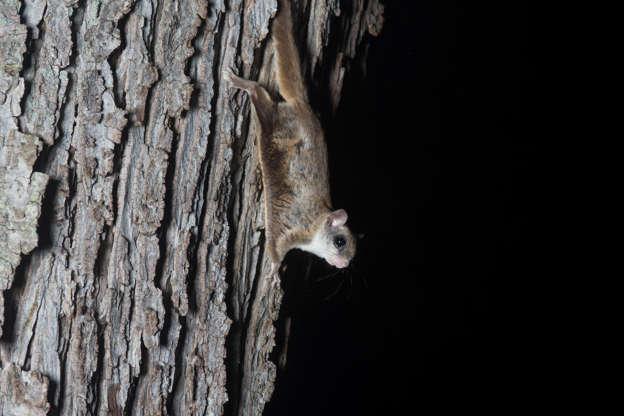 """Slide 22 of 31:            The flying squirrel actually glides through the air using a membrane between their front and back legs.According to the National Wildlife Federation""""it uses slight movements of the legs to steer, and the tail acts as a brake upon reaching its destination. Flying squirrels can cover more than 150 feet [45 m] in a single glide."""""""