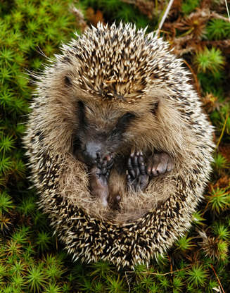 Slide 3 of 31:            Not only arehedgehogsnocturnal, they also sleep for a whopping 18 hours a day,according to the San Diego Zoo. Their poor eyesight means they rely on their senses of smell and hearing to help them find food; according to the zoo, they have up to 44 teeth with which to eat meals of fruit, fungi, centipedes, insects, snails, worms, mice, frogs, eggs, birds, snakes and other reptiles, and roots that they find under hedges and other vegetation (hence the name hedgehog, though they also make hog-like snorting noises).