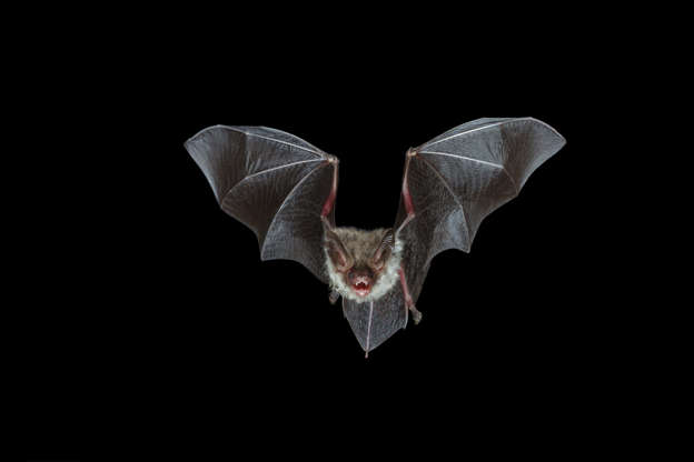 Slide 4 of 31:            Mostbatsare nocturnal, using echolocation to find their prey (mainly flying insects) in the dark. Pictured here is the rare Bechstein's bat (Myotis bechsteinii), which can be found in parts of southern Wales and southern England.According to the Wildlife Trusts, they are protected in the U.K. under the Wildlife and Countryside Act, 1981.