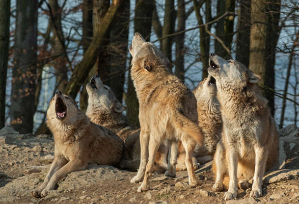 """Slide 5 of 31:            The largest member of the canine family, the gray wolf has 40 subspecies, the most common being thegray wolfortimber wolf(pictured). They hunt at night in packs as large as 30 wolves. It's known that wolves howl to communicate, but asLive Science previously reported,""""researchers have now found that wolves howled more frequently to members of their pack with whom they spent more time. In other words, the strength of the relationship between wolves predicted how many times a wolf howled, said Friederike Range, a researcher and co-director of the Wolf Science Center at the University of Vienna in Austria."""""""