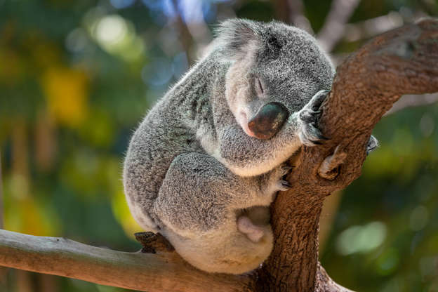 """Slide 11 of 31:            The symbol of Australia is often referred to as a 'koala bear,' but asLive Science previously reported: """"Koalas fall first into the infraclass Marsupialia — animals characterized by giving birth to underdeveloped young, which the mothers then raise in a pouch."""" But their reputation for being sleepy is certainly true, asaccording to the World Wildlife Fund(WWF) they sleep up to 18 hours a day. They are only found in Australia, where they survive on eucalyptus leaves — WWF reports they can eat up to 2.2 lbs. (1 kilogram) a day."""