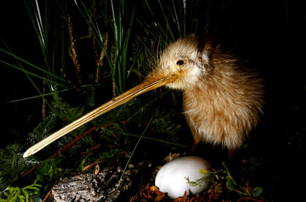 Slide 28 of 31:            New Zealand's native bird is often used as a nickname for the people of the country themselves. It is only found in New Zealand's forests, scrublands and grasslands. These birds can't fly and are about the size of a chicken. The kiwi's long legs make up about a third of its total weight, andaccording to the San Diego Zoo, a kiwi can outrun a person. Thekiwispends its nights foraging for food or patrolling its territory.