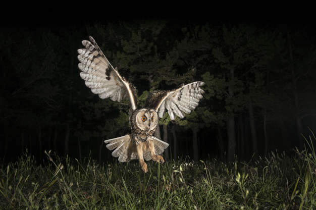 """Slide 31 of 31:            According to theRoyal Society for the Protection of Birdsin the U.K., the long-eared owl (Asio otus, pictured) is a nocturnal owl and is so secretive, it's rarely seen other than during migration or when leaving, or returning to, a communal roost site in winter. Its ear tufts are actually just feathers, which they raise when alarmed.                                        Not all owls are nocturnal, asLive Science previously reported: """"During the daytime, while some owls are sleeping, the northern hawk owl (Surnia ulula) and the northern pygmy owl (Glaucidium gnoma) are hunting for meals, making them diurnal — that is, active during the daytime,"""" said Marc Devokaitis, a public information specialist at the Cornell Lab of Ornithology in Ithaca, New York."""