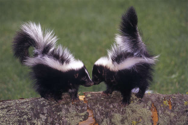 """Slide 25 of 31:            These black and white stinkers are mainly nocturnal, but as theToronto Wildlife Centredebunks: """"It's a common myth that a skunk seen during the day is sick or has rabies. It's true that skunks are mostly nocturnal, but they might be out during the day for many different reasons."""" Their reputation for their smell can be explained by a defense mechanism, in which they release noxious odors produced from their scent glands when frightened."""