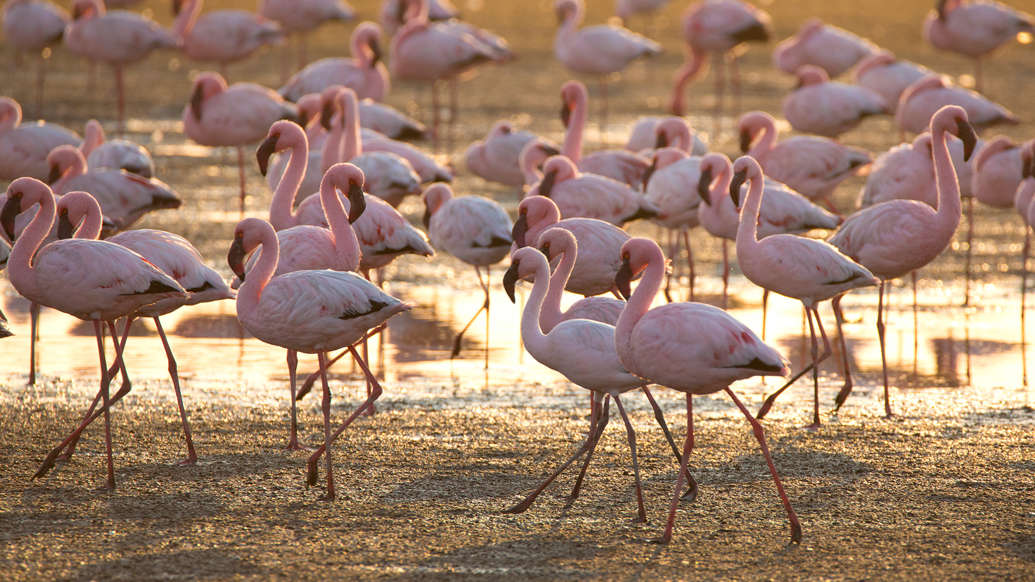 2./22 dia: Flamingo chicks are not born pink. They are gray or white in color and it takes about three years for their plumage to turn pink, orange or red; the process is caused by pigments in their food.