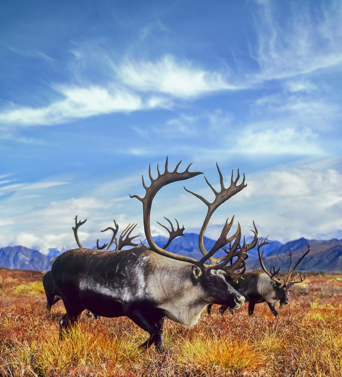 Slide 3 of 33: Caribou migrating through the tundra of Denali National Park.