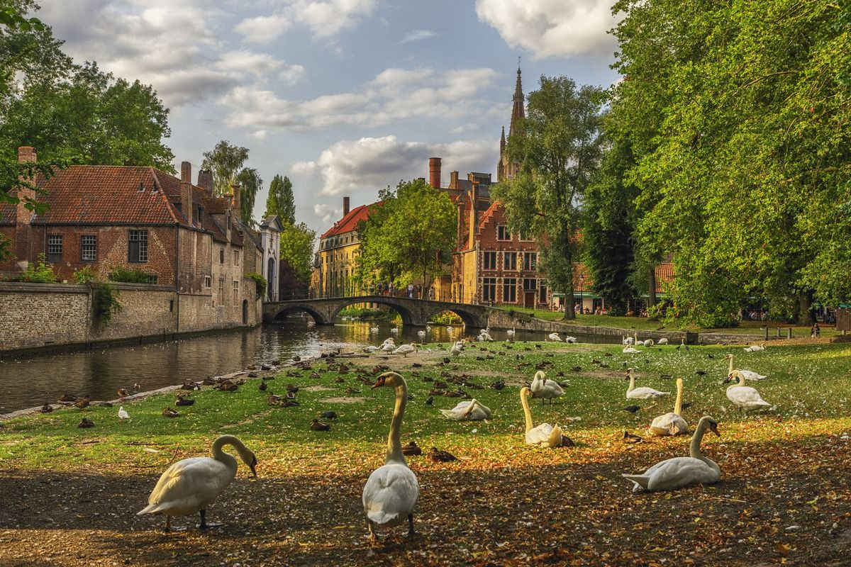 Slide 8 of 33: Swans walking around a park in Bruges, Belgium.