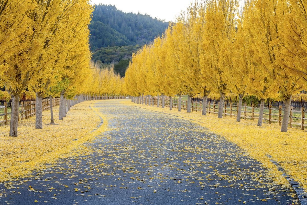 Slide 16 of 33: Yellow Ginkgo trees along the road in Napa Valley, California.