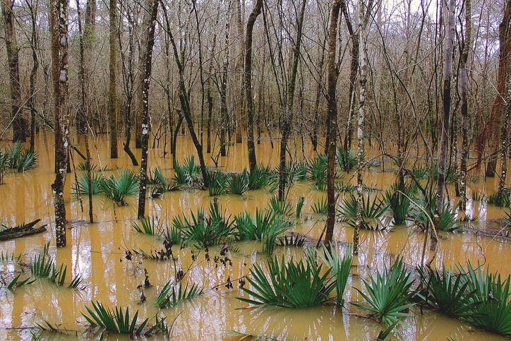 Slide 41 of 51: Congaree National Park This swampy and marshy landscape is filled with hardwood trees that grow alongside cypress trees (keep an eye out for the cypress knees jutting out of the ground). You'll walk on a raised walkway through this diverse and largely untouched forest.