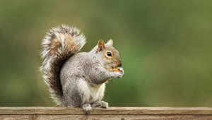 Close up of a cute grey squirrel eating nuts on a wooden fence, autumn in UK.
