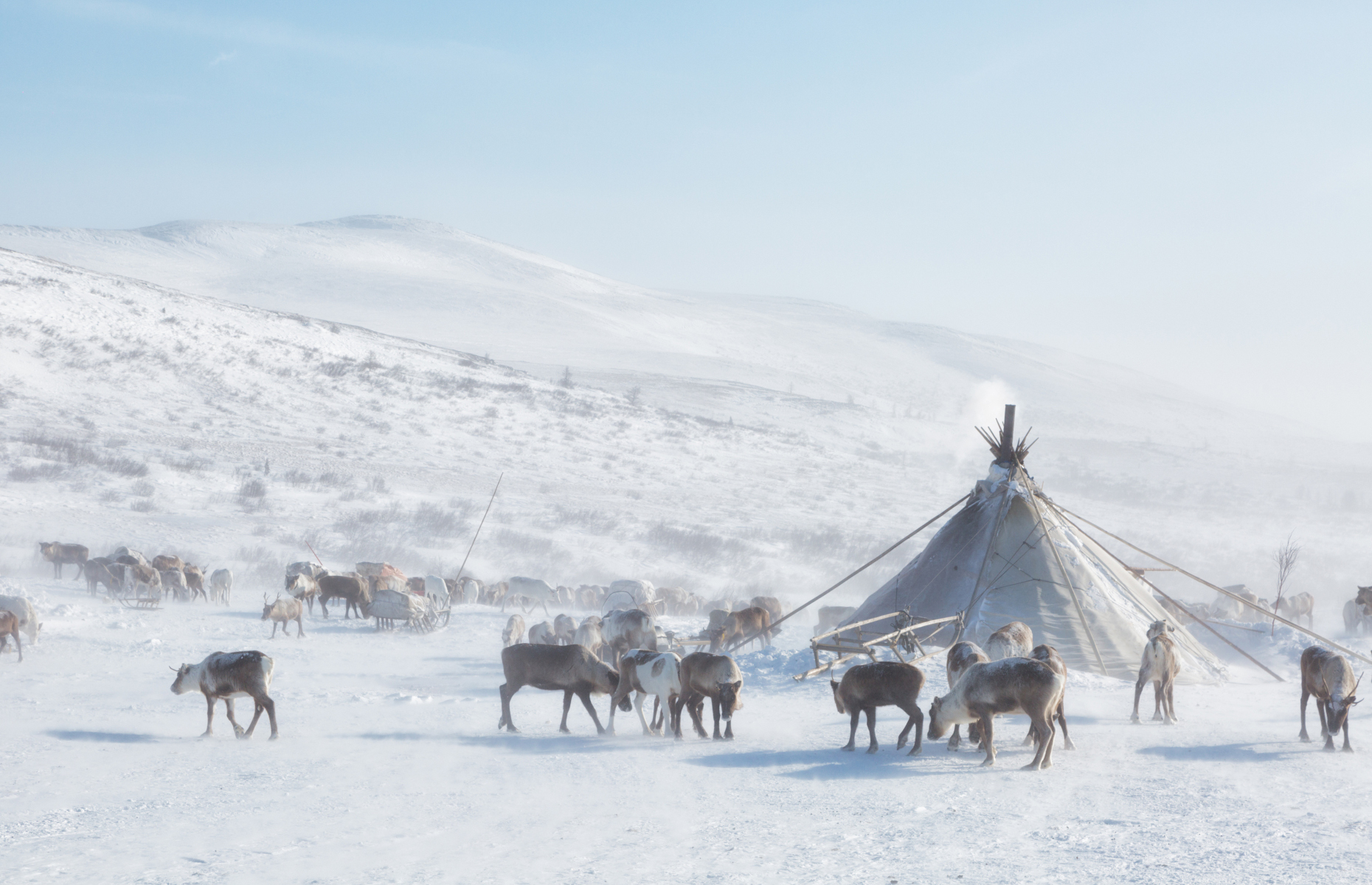 Slide 17 of 21: The Nenets are a nomadic people who migrate, year in and year out, over a distance of nearly 1,500 km (932 mi.), crossing the frozen Ob River with their caribou herds. The Nenets depend on their nearly 300,000 animals for survival, using their meat and fur for food and shelter. When the men leave to cross the Siberian arctic tundra, they leave behind the women and elderly who suffer from terrible loneliness.