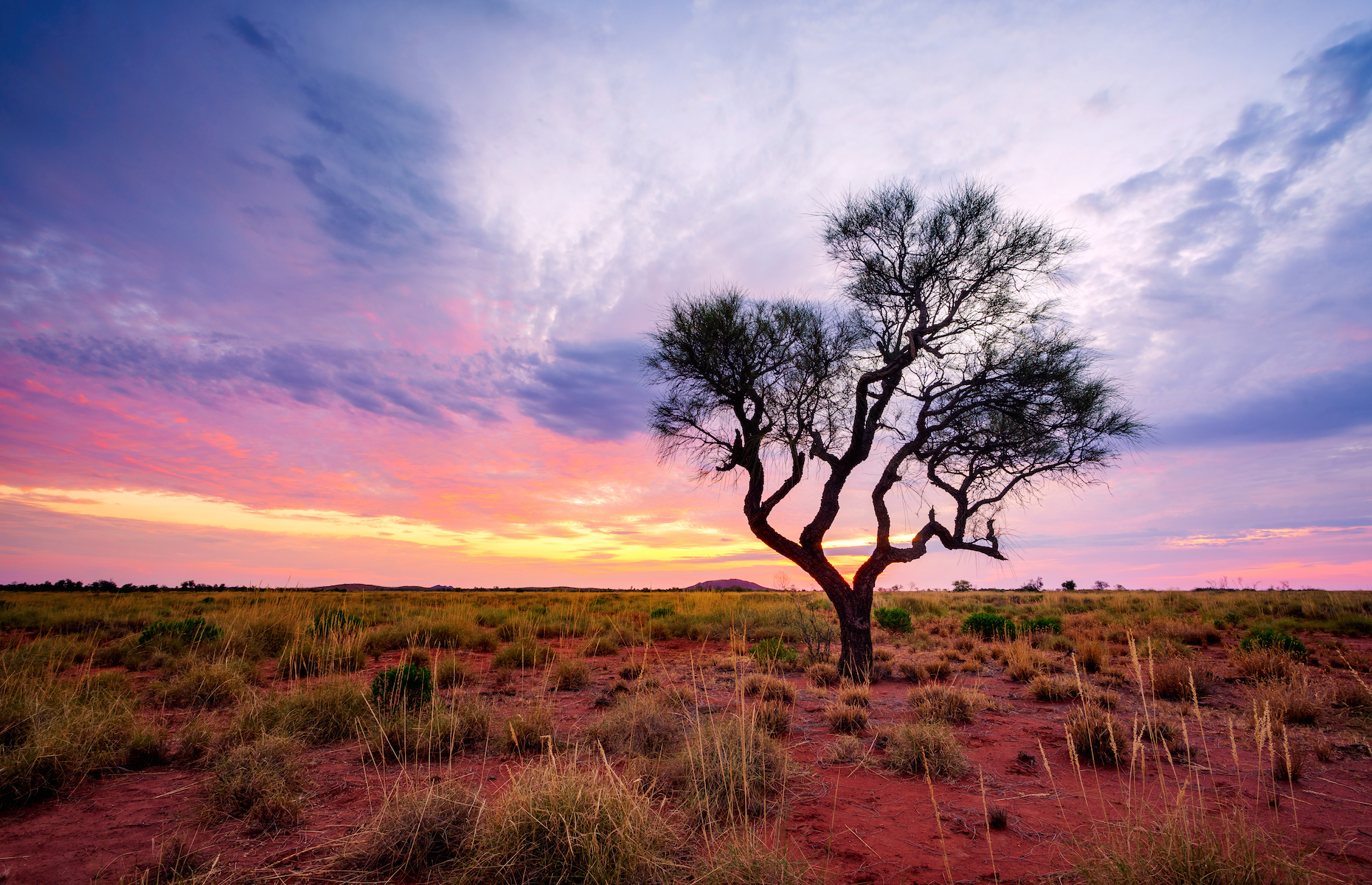 Slide 3 of 21: This Hakea tree, native to the country, stands tall in the famed Australian Outback. Known for its red soils and extreme climate, the Outback spans over 70% of the continent and supports a diverse ecosystem of plants, animals, and people alike.