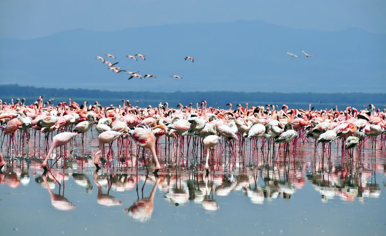 Slide 38 of 52: Located within the Nakuru National Park in Kenya's Great Rift Valley, Lake Nakuru is widely known for the vast flocks of flamingos that feed on the lake's abundant algae.