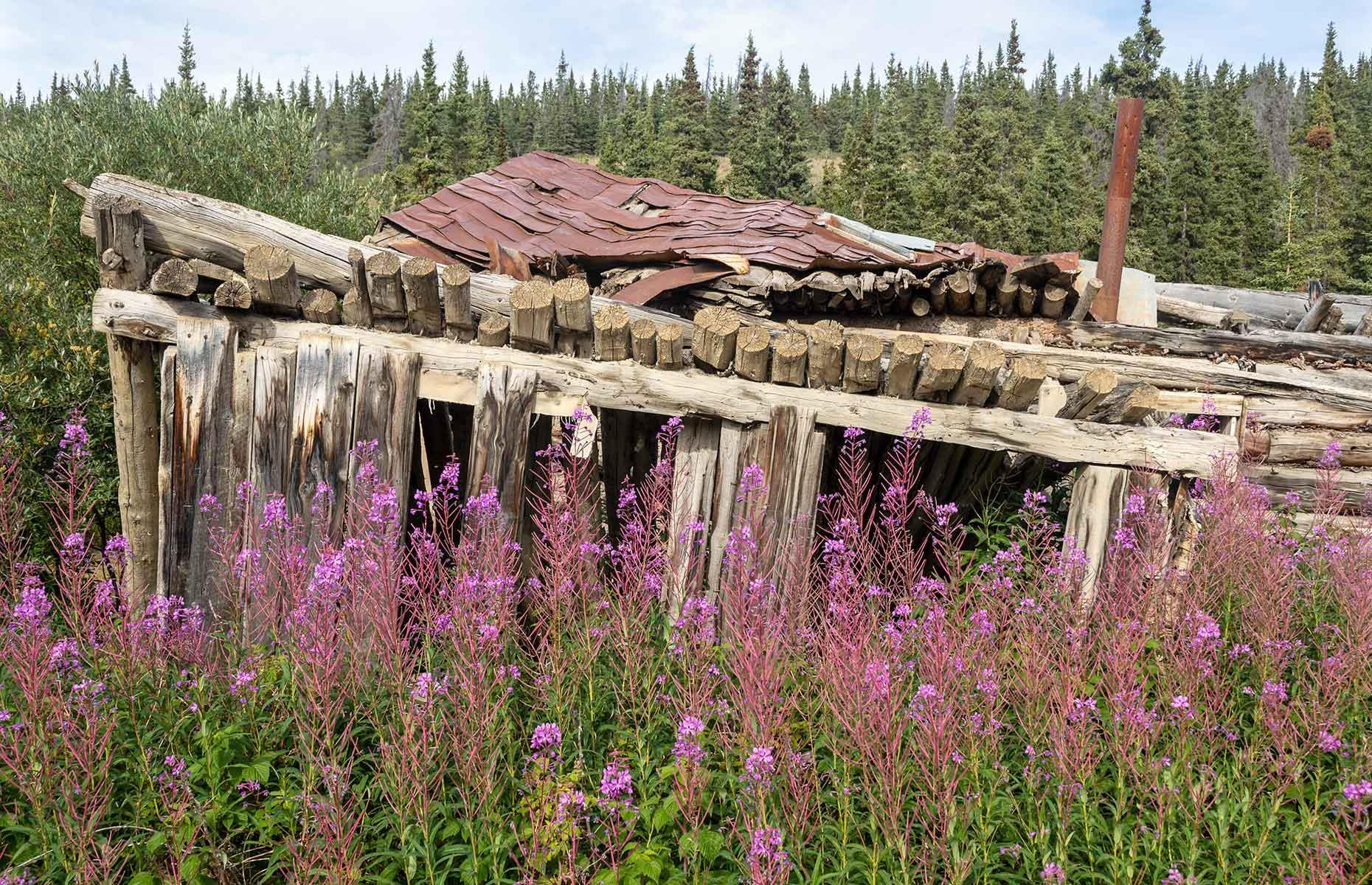 Slide 31 of 41: Instead, Mother Nature has been making serious grounds in this ghost town. Rabbits and squirrels skit between the abandoned trucks and decrepit homesteads, and Yukon fireweed grows up in mid-July through to September. In winter, the century-plus-old cabins sigh under the weight of thick snow.