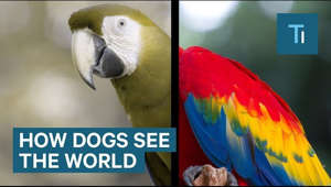 a colorful bird perched on top of a parrot: Dog eyes can only detect two colors. No one is certain what those two colors are. Some experts think it could be blue and yellow.   Science Insider tells you all you need to know about science: space, medicine, biotech, physiology, and more.   Subscribe to our channel and visit us at: http://www.businessinsider.com/science Science Insider on Facebook: https://www.facebook.com/BusinessInsi... Science Insider on Instagram: https://www.instagram.com/science_ins... Business Insider on Twitter: https://twitter.com/businessinsider Tech Insider on Twitter: https://twitter.com/techinsider