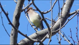 a bird perched on a tree branch: Cedar Waxwings spend their winters in Texas and sometimes overindulge on fermented berries, causing unusual behavior, experts say.