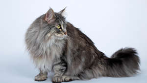 (GERMANY OUT) cat, Maine Coon, Maine-Coon-Cat, American Longhair cat, domestic cat  (Photo by Cuveland/ullstein bild via Getty Images)