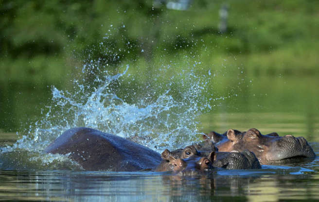Slide 17 of 29: Escobar had numerous animals in there, including four hippos he flew from a zoo in California. The animals reportedly became the biggest wild hippo herd outside Africa.