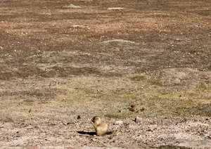 a bird sitting on top of a dry grass field: Prairie dogs are fun to watch in Theodore Roosevelt National Park. (Photo courtesy of Melanie Haiken)