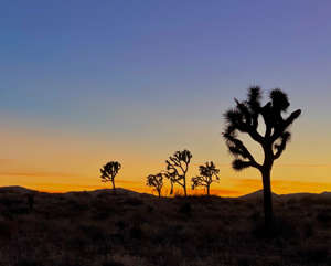 a tree with a sunset in the background: Joshua trees silhouetted at sunset. (Photo courtesy of Melanie Haiken)
