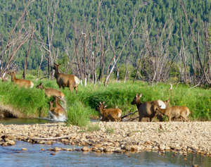 a herd of cattle walking across a river next to a body of water: Elk at play in Rocky Mountain National Park's lush meadows. (Photo courtesy of Melanie Haiken)