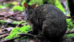 Tasmanian Pademelon filmed at Mount Field Tasmania ,   Footage can be used for none profit, single use, educational purposes as long as credit is given.  Please contact for all other uses.  Filmed on a Canon 7D at 1080p. Filming Tasmanian wildlife.  Wildlife TV Nature Wildlife Documentaries. Tasmanian Wilderness. Silver eye  Camera Equipment.  Canon EOS 7D  Canon L EF 300mm F4 telephoto lens Canon L EF 17 - 40mm F4 Lens.   Manfrotto 501 pan and tilt fluid head.  Rode Video Mic Pro Zoom H2 audio recorder Alan Gordon car mounting suction caps.  Car mounting camera system.  Servo City Speed controllers.  Workshop equipment used.   Hafco metal machines.  Hafco HM 50 Vertical Milling machine. Hafco AL50GA Bench Lathe Weldmaster Mig Welder