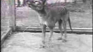 Tasmania Tiger, Thylacine, this is the last one, died in 1936.