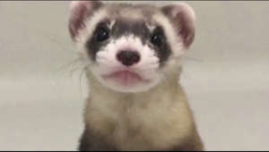 Scientists in Colorado have cloned an endangered ferret, the U.S. Fish and Wildlife Service announced on Thursday   #News  Subscribe: http://smarturl.it/reuterssubscribe  Reuters brings you the latest business, finance and breaking news video from around the globe.  Our reputation for accuracy and impartiality is unparalleled.  Get the latest news on: http://reuters.com/ Follow Reuters on Facebook: https://www.facebook.com/Reuters Follow Reuters on Twitter: https://twitter.com/Reuters Follow Reuters on Instagram: https://www.instagram.com/reuters/?hl=en