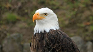 a bird sitting on a rock: 5 cool facts about bald eagles