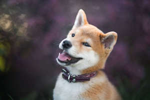 a dog looking at the camera: Dogecoin price: Shiba Inu puppy