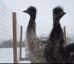 Ever thought of Emus as pets? Meet these playful ones
