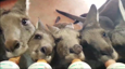 Young Roos Enjoy Bottle Feed All in a Row
