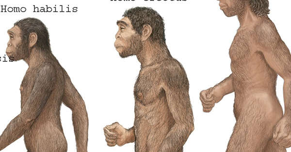 Early humans went through 'tall and skinny' phase over a