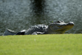 JACKSON, MS - OCTOBER 27: An alligator is seen on the eighth hole during the second round of the Sanderson Farms Championship at the Country Club of Jackson on October 27, 2017 in Jackson, Mississippi. (Photo by Sam Greenwood/Getty Images)