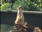 This meerkat barks like a dog